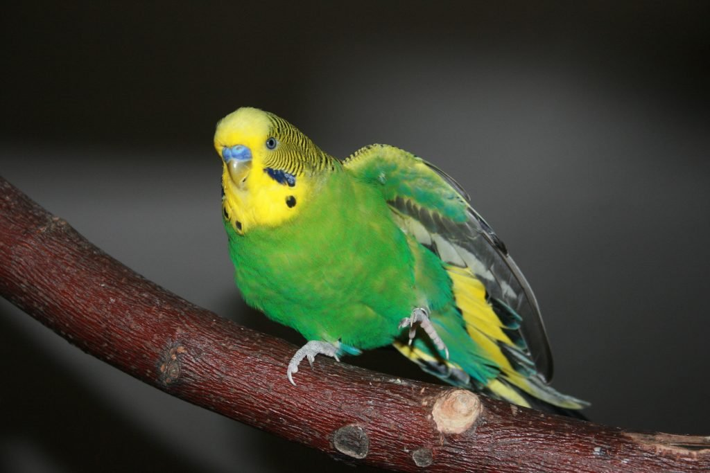Green and yellow Budgerigar bird sitting on a wooden stick