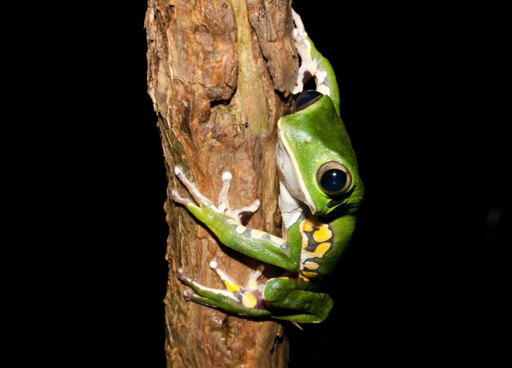 The Burmeister's Leaf Frog prefers to stay high in the forest canopy.