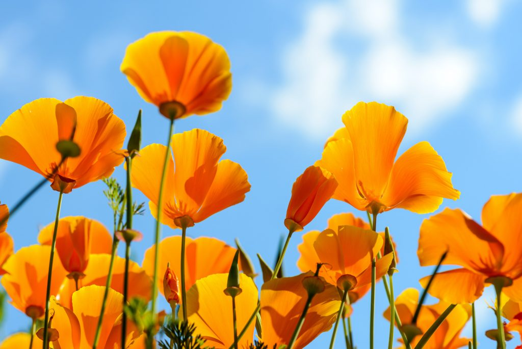 The California poppy does well in sandy, poor-quality to medium-quality soil.
