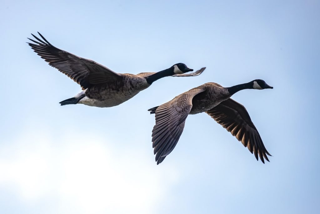Canada geese tend to be very comfortable around people, and they can usually find a suitable habitat even in urban areas.