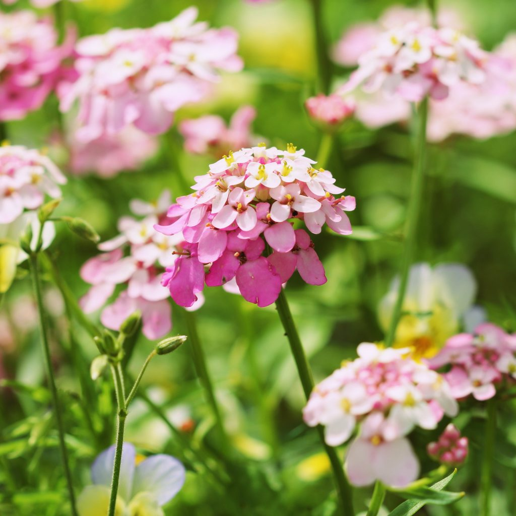 The Candytuft usually blooms in April or May.
