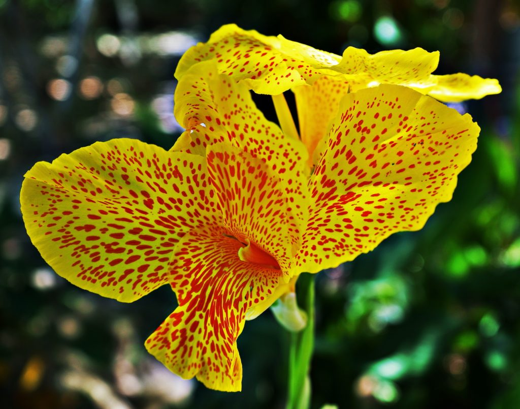 Canna flowers are usually fiery red-orange with long, spear-like petals.