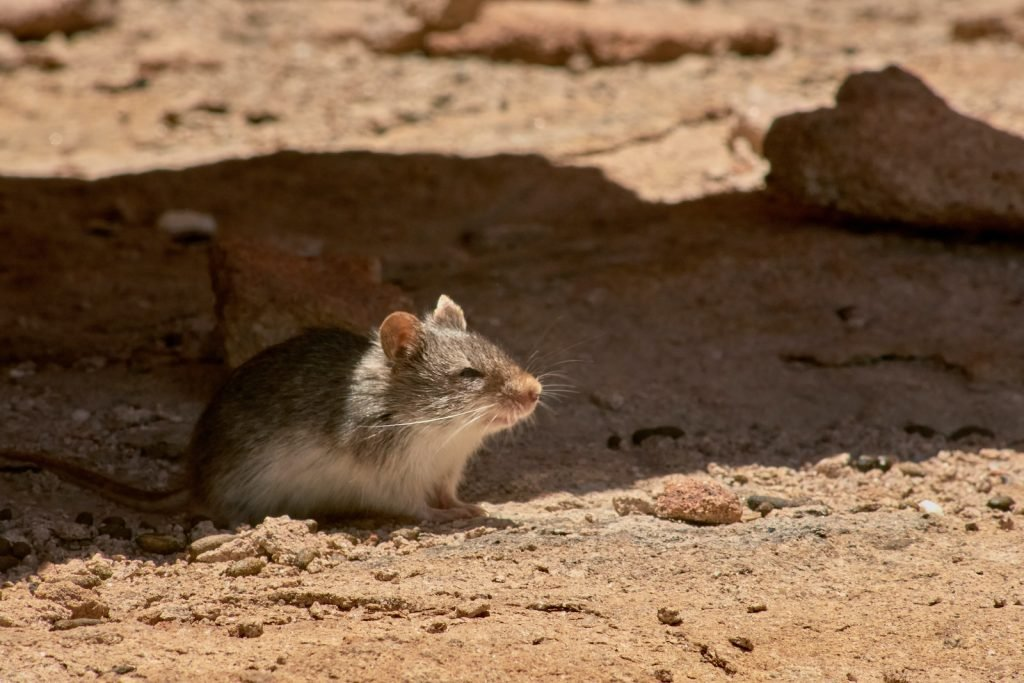 Canyon mice are different from your typical brown house mice.