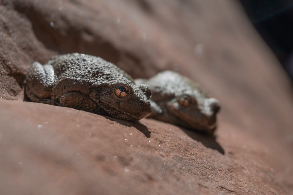 Canyon treefrogs are also very small.