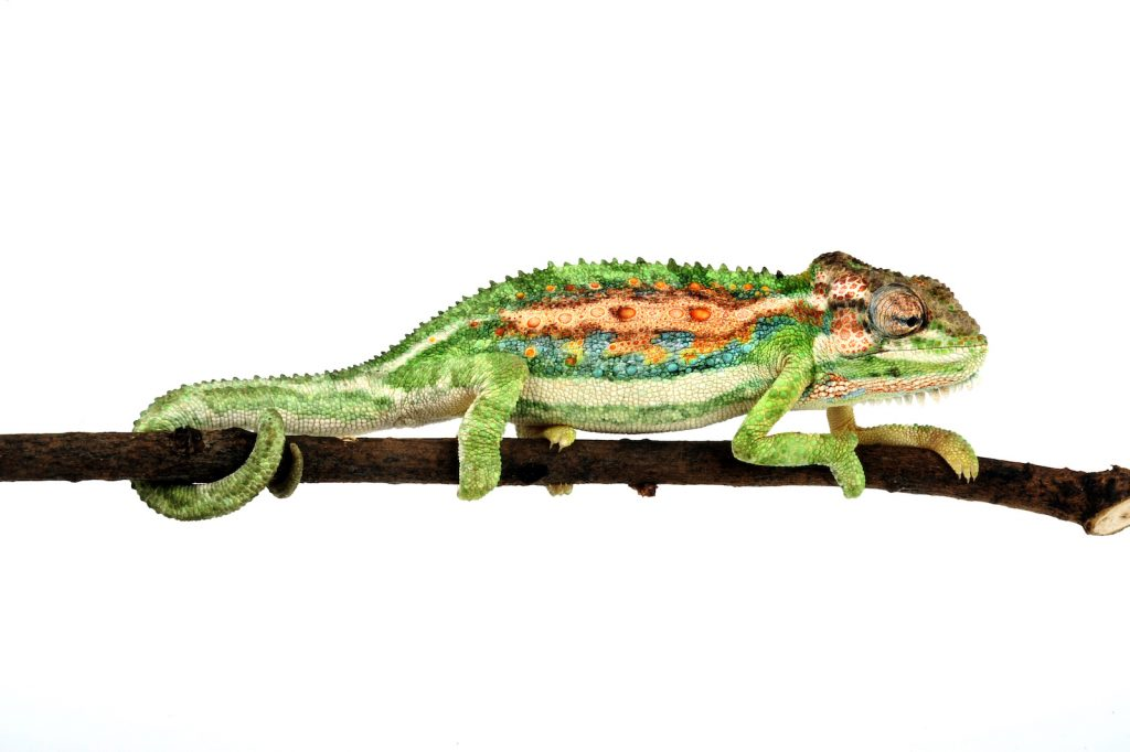 The Cape dwarf chameleon is one of the lesser-known species of chameleon.