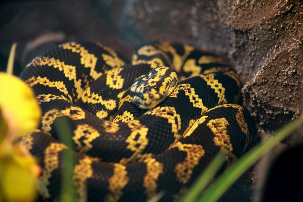 Despite its size, the carpet python is actually very popular as a pet.