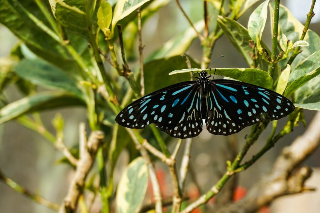 Ceylon Blue Glassy Tiger belongs to the subfamily of crow and tiger butterflies.