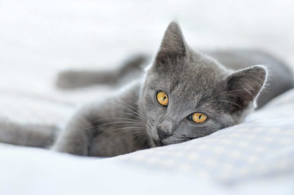 Chartreux Cats make wonderful pets.
