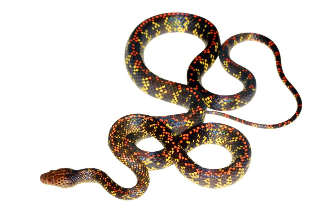 The checkerbelly is a rare snake sometimes found in the Amazon.