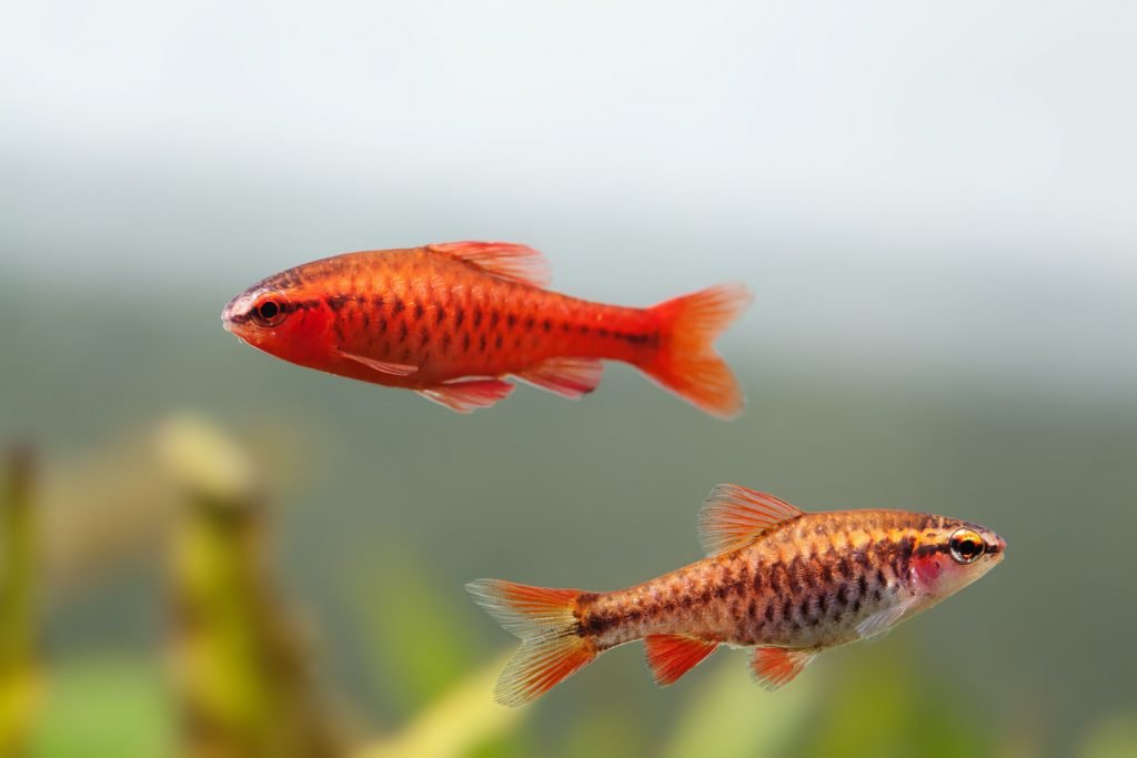 The cherry barb offers surprisingly bright color for such a small fish.