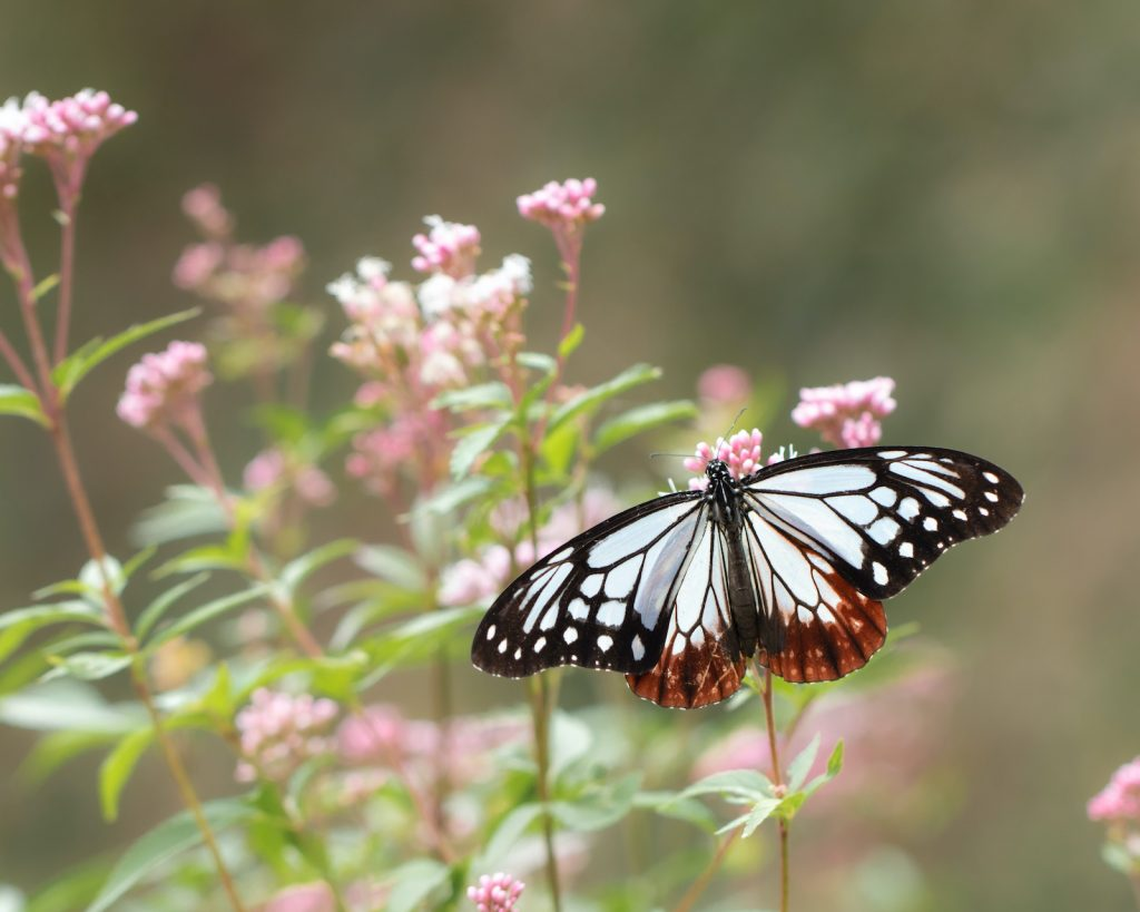 The chestnut tiger's much different range feeds on a tropical version of the milkweed plant.
