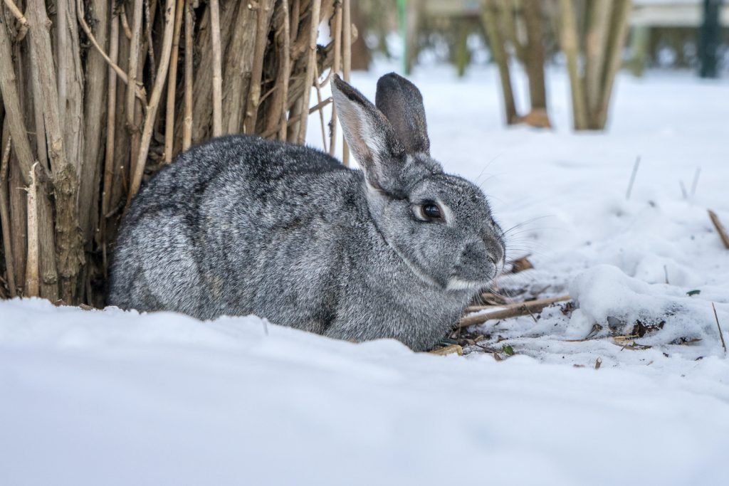 The chinchilla rabbit is not related to the chinchilla rodent.