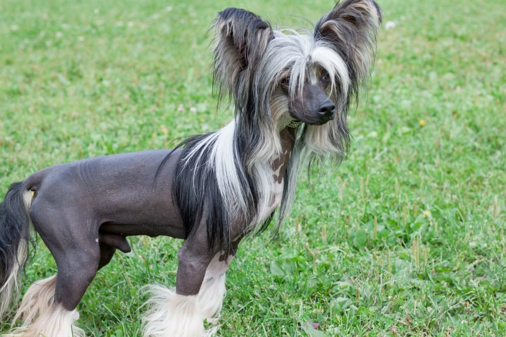 Chinese Crested Dogs have a lion-like appearance thanks to their furry crest.