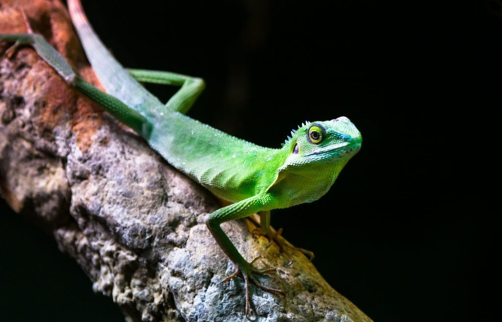 Chinese Water Dragon are normally different shades of green.