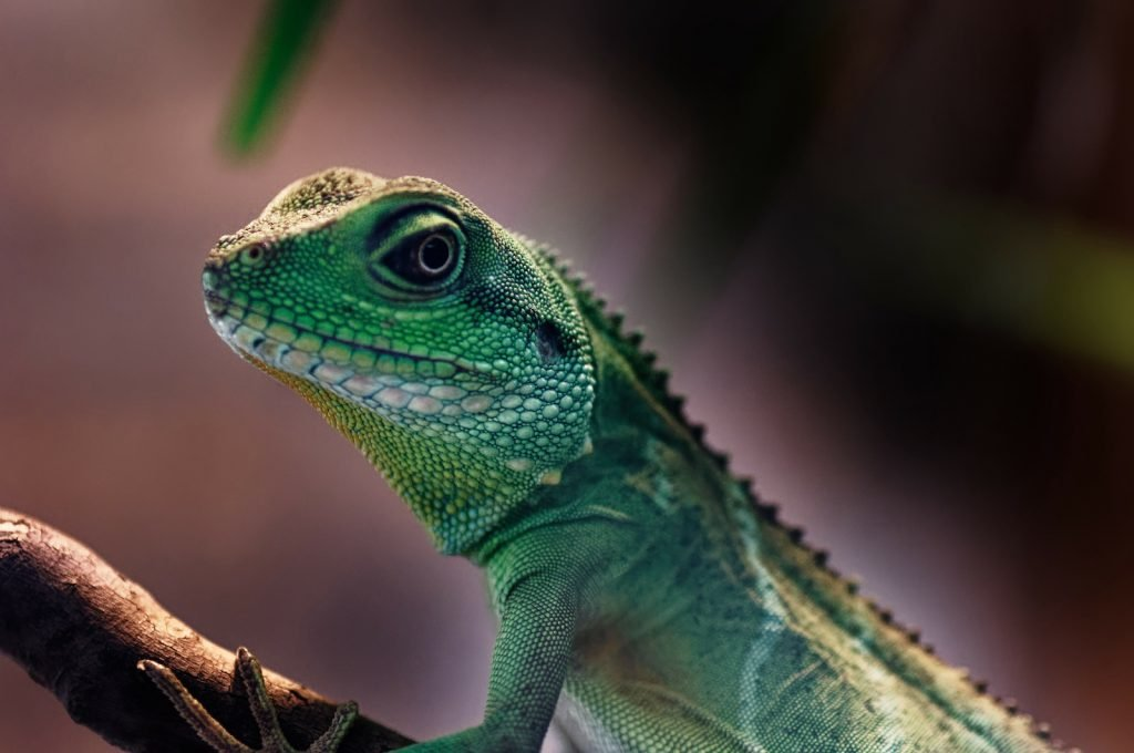 Dark green Chinese water dragons sitting on a branch
