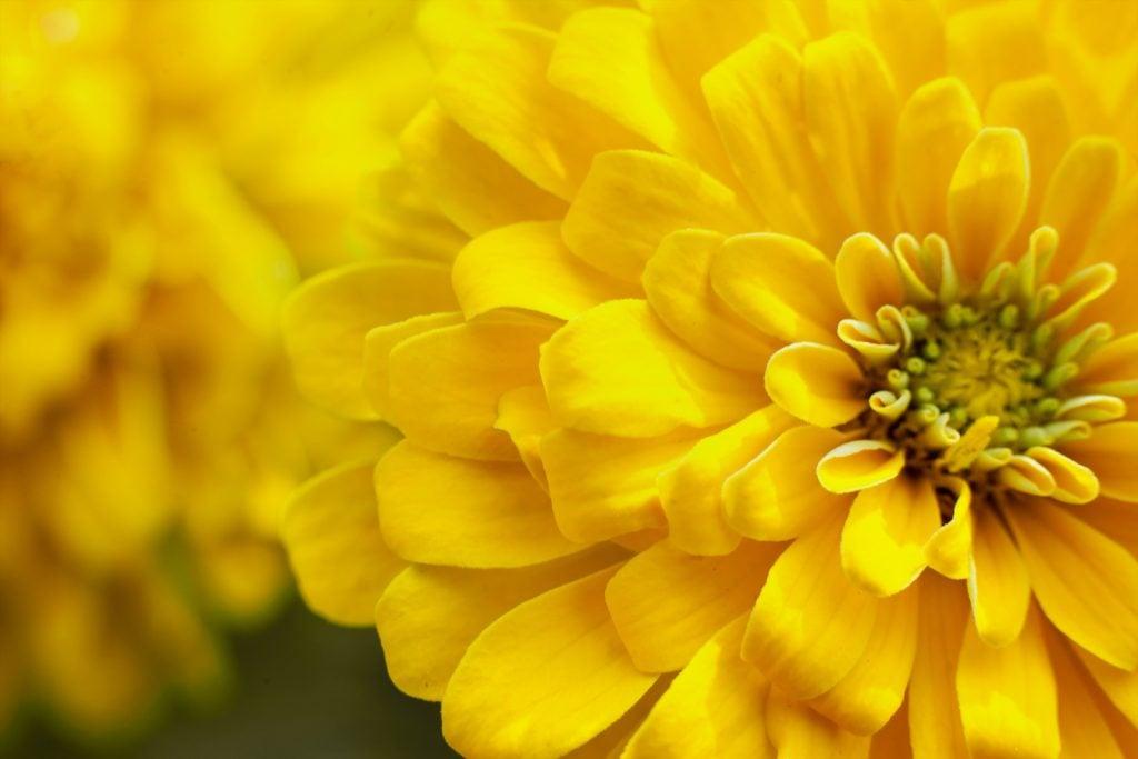 Closeup of Chrysanthemum flowerhead in bright yellow