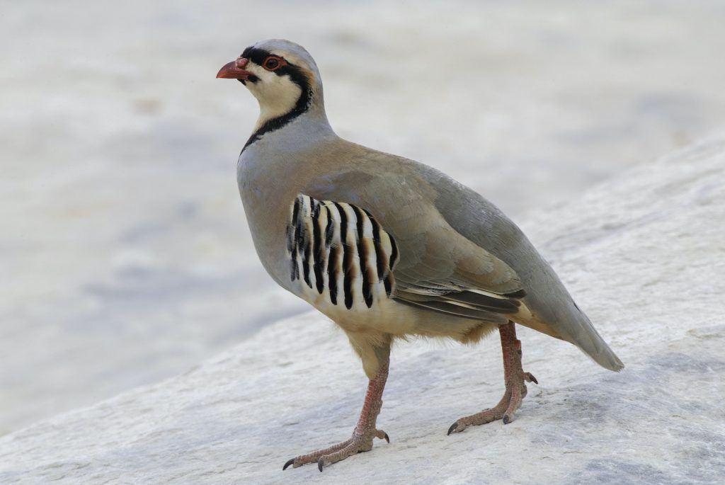 Chukar partridges have a complex and beautiful pattern, but they are mostly a pale iron gray in terms of color.