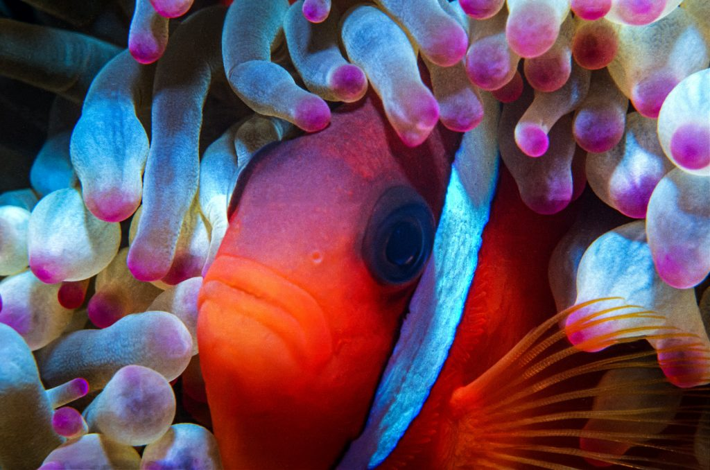 The Cinnamon Clownfish aren't quite as well-known as the multi-striped false clownfish.