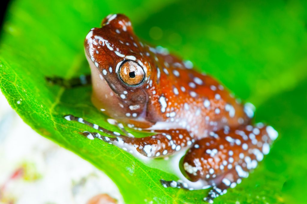 Though cinnamon frogs have a wide geographical range, they aren't especially common within that range.
