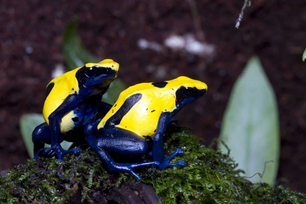 The Citronella Dyeing Poison Dart Frog has extremely bright coloration.