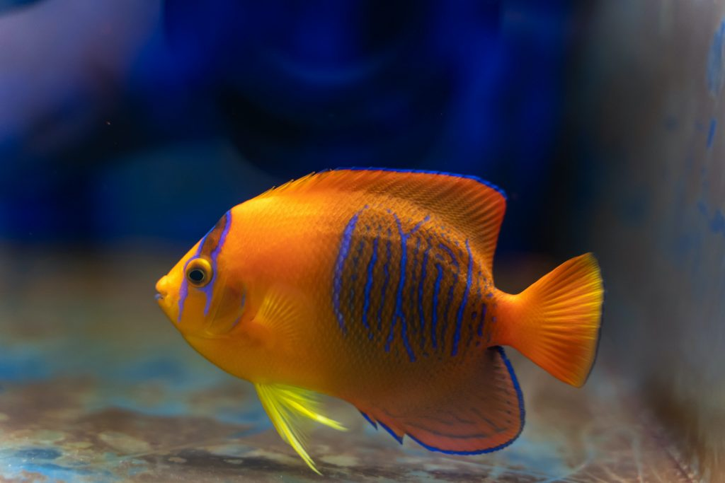 Clarion angelfish are among the most expensive saltwater fish.