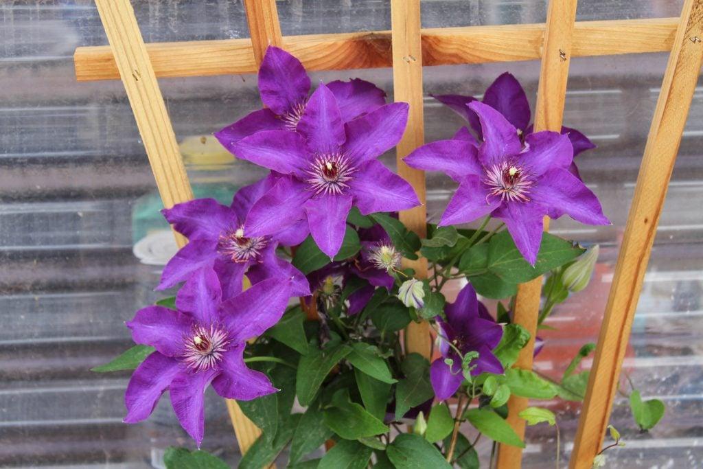 purple clematis flowers blooming in a garden