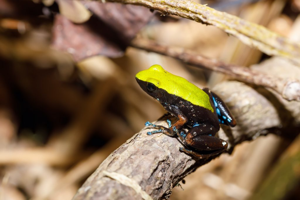 Much of the wildlife in Madagascar is brilliantly colored, and the climbing mantella is one of the nation's most striking examples