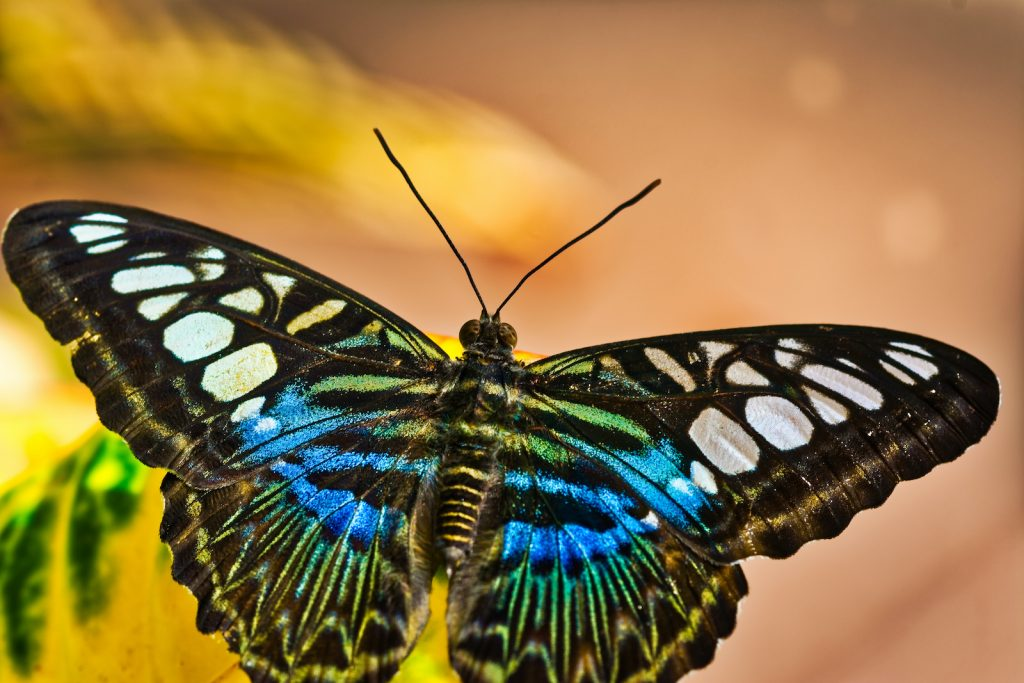 The clipper butterfly has an unusual name; it references the white wing patches that look like the sails on a clipper ship.