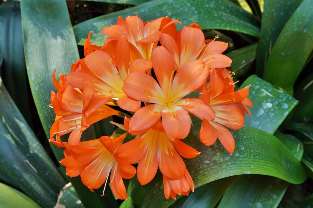 In order to grow optimally, clivia plants need to periodically go for months without water.