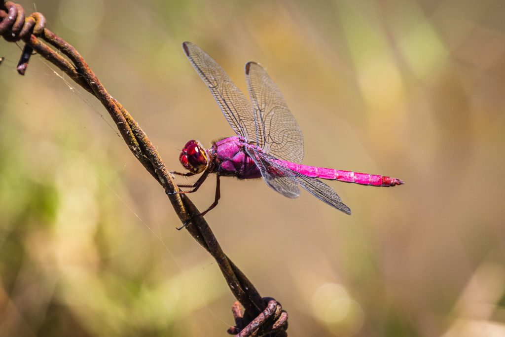 Close up of colorful pink and purple dragonfly
