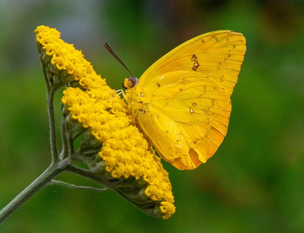 Like many species, the cloudless sulphur usually has bright green caterpillars.