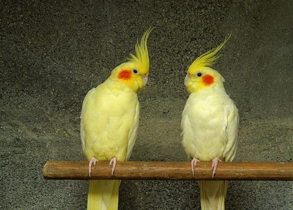 Couple of yellow cockatiel sitting next to each other