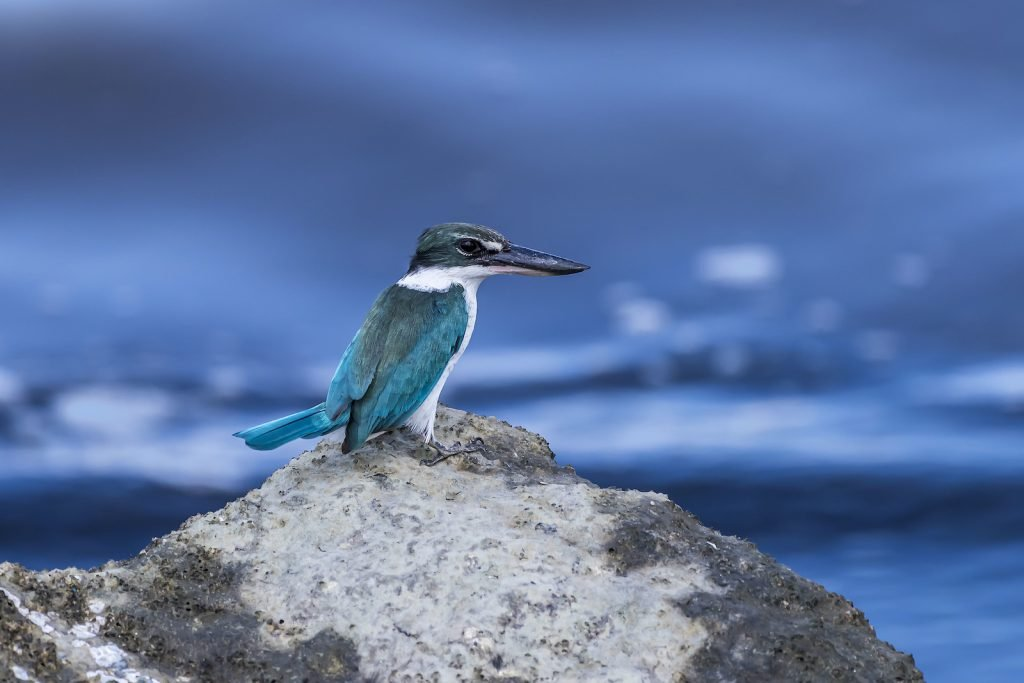 The collared kingfisher, also called the white-collared kingfisher, is one of the most striking when it comes to color contrast.