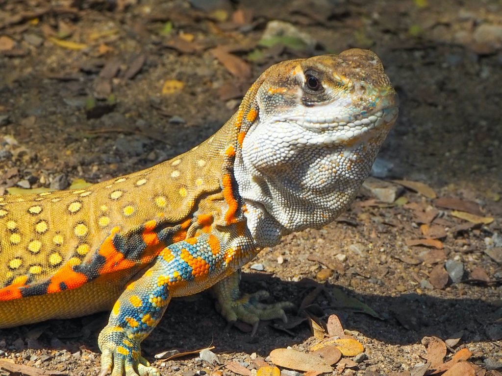 Just like a butterfly, the common butterfly lizard has some truly beautiful patterns.