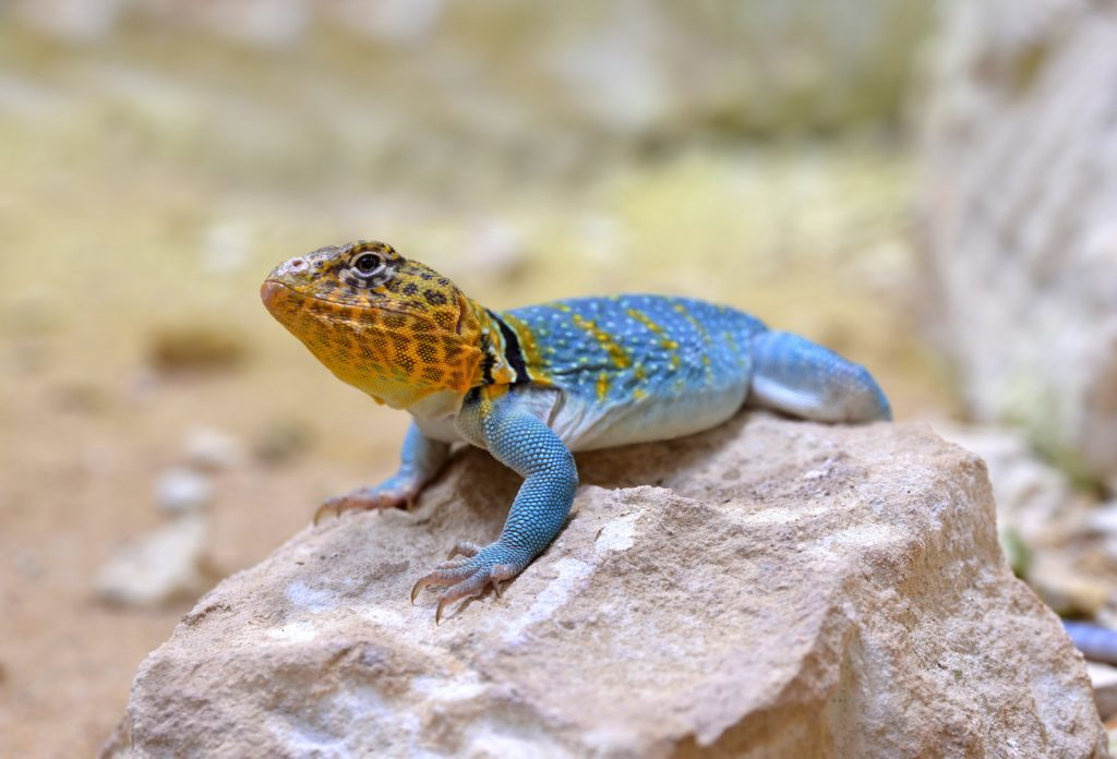 The collared lizard is Oklahoma's state reptile.