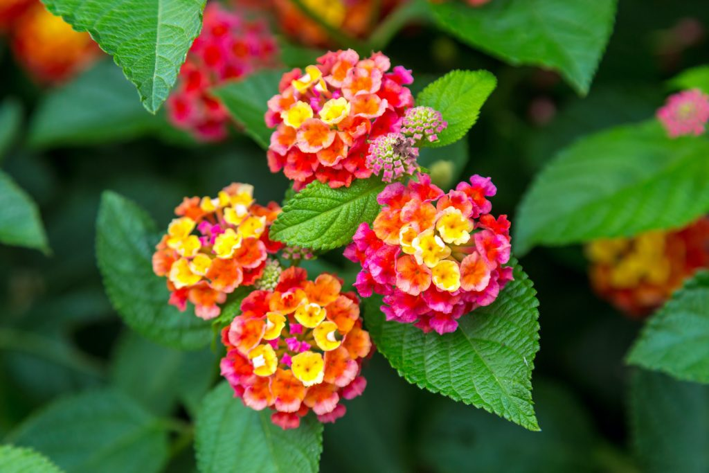 The Common Lantana is part of the verbena family.