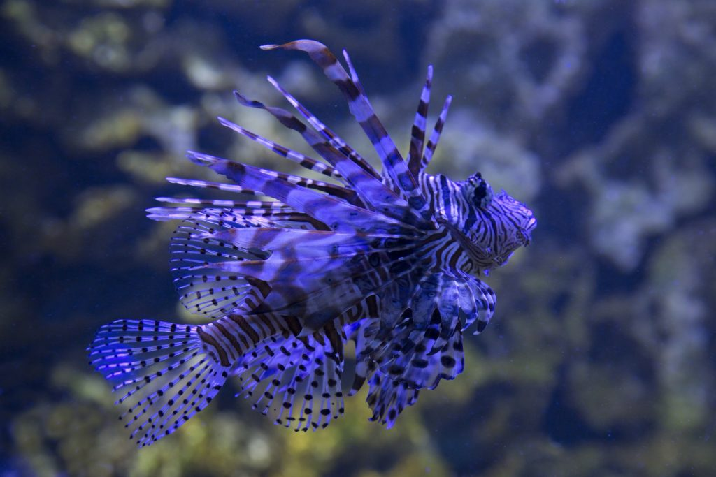 The Common Lionfish is sometimes called the devil firefish.