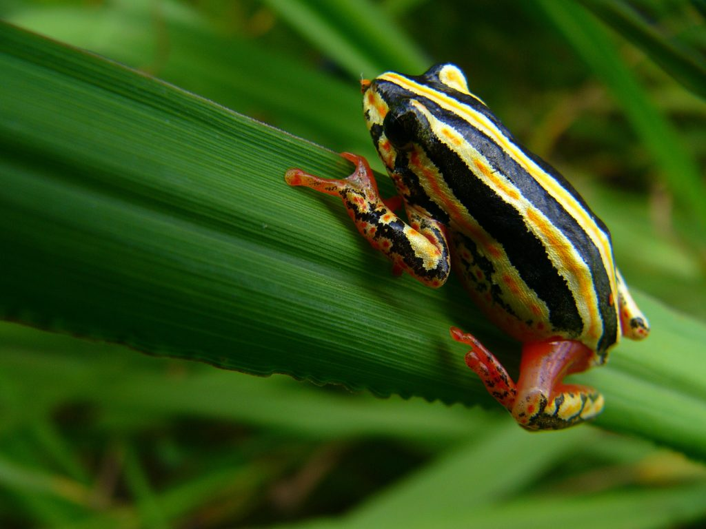 The common reed frog is a bit different from most frog species in that females are usually more brightly colored than males.