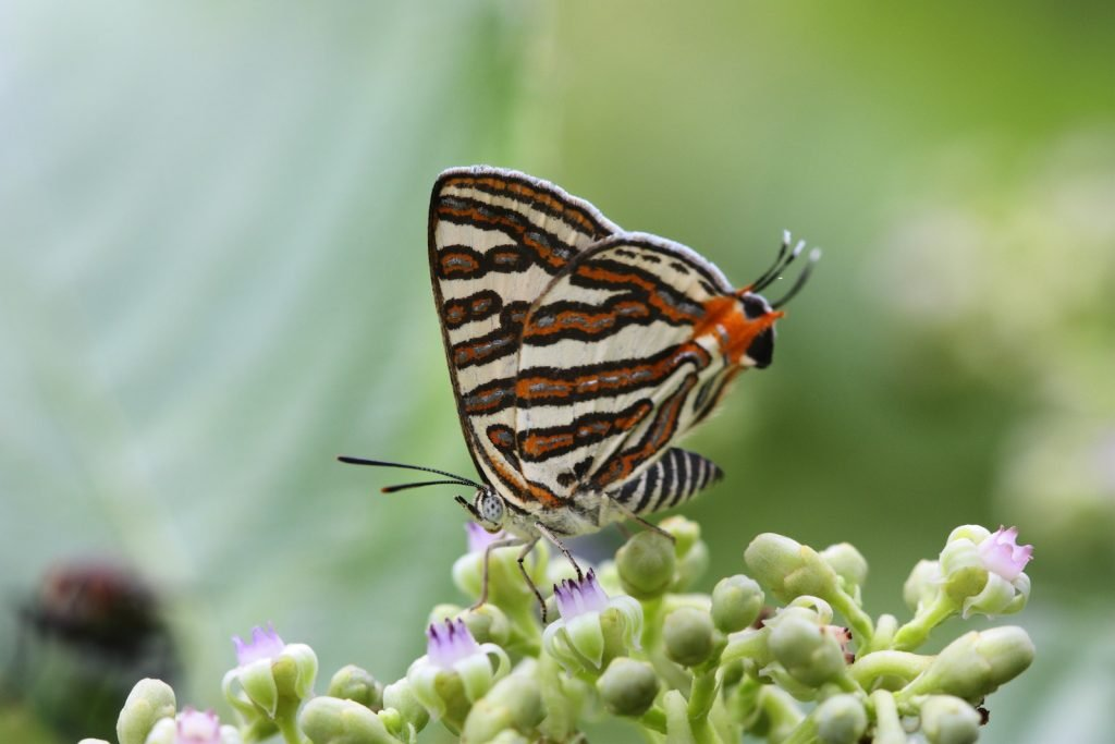 The Common Silverline has beautifully striped undersides.