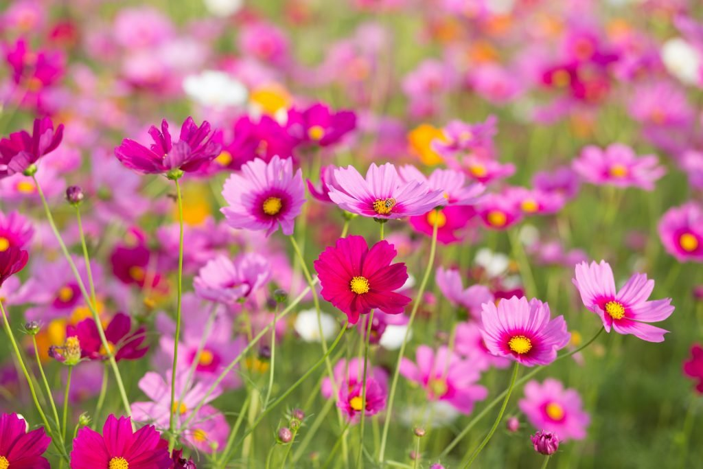 Cosmos is part of the daisy family.