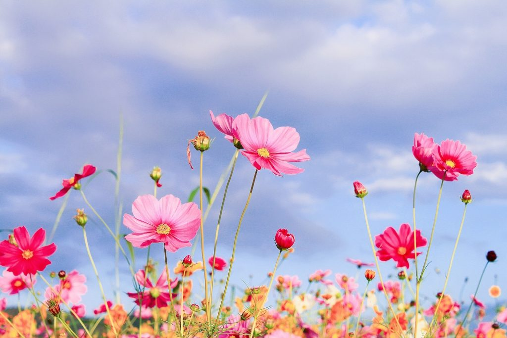 Low angle view of different shades of pink cosmos flowers in bloom