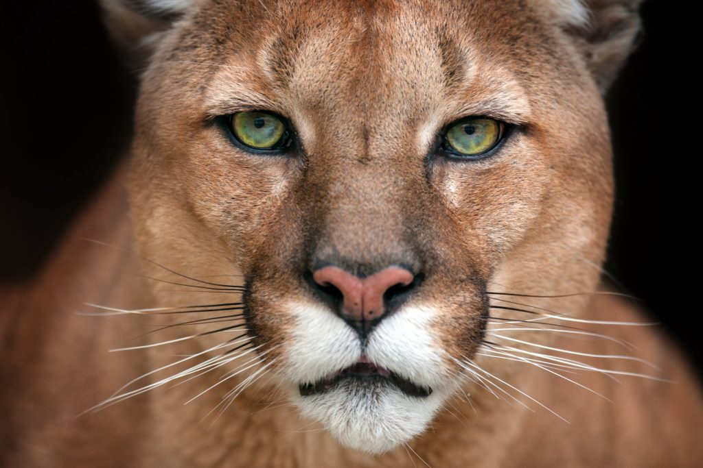 Close up of a Cougar head while it stares right into the camera