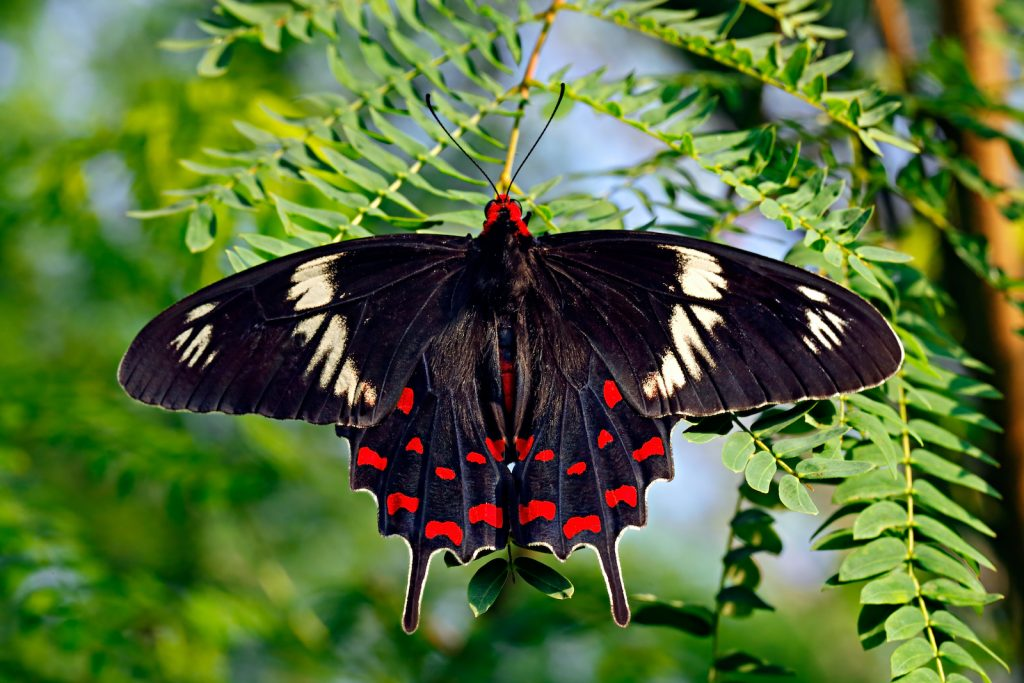 The Crimson Rose is part of the group of swallowtail butterflies.