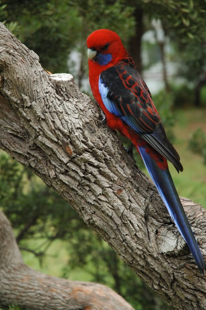 The crimson rosella is another of Australia's strikingly beautiful birds.