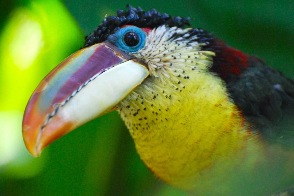The Curl-Crested Aracari is a type of toucan, although its color pattern sets it apart from more recognizable species.