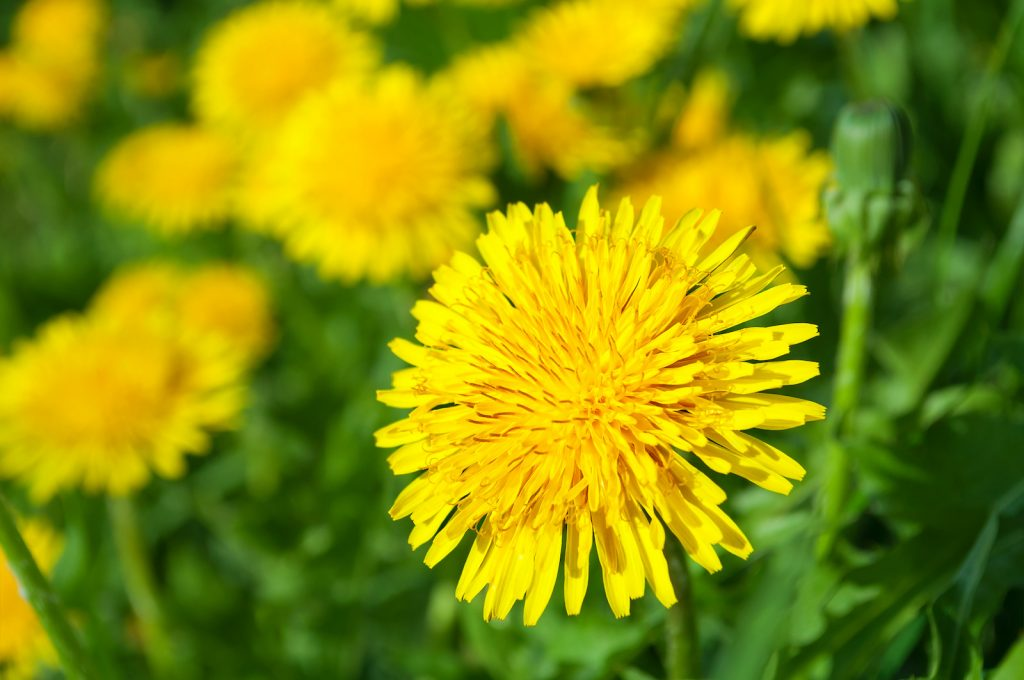 Yellow dandelion flowers in the green grass