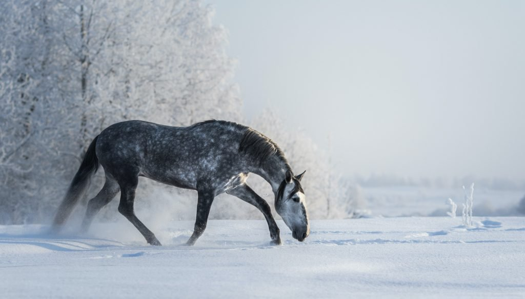 Dapple gray horses are not a breed, but they are an especially beautiful color of horse.