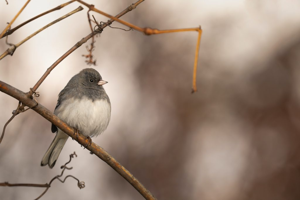 Unlike many birds, dark-eyed juncos usually nest on the ground instead of in trees.