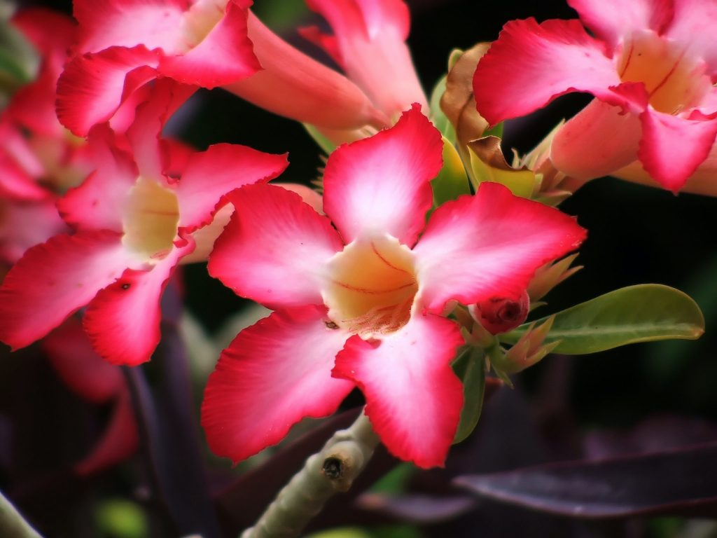The desert rose is one of the most beautiful flowers on Earth.