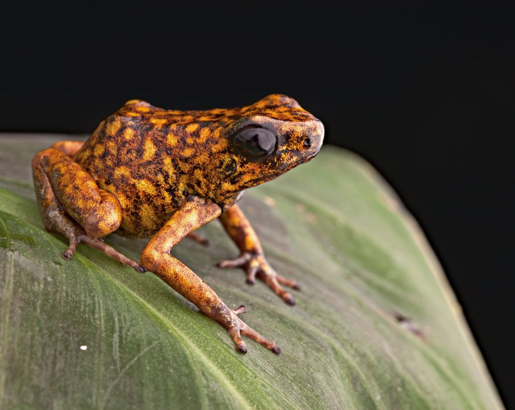 The Diablito, like many other poisonous frogs, gets the alkaloids it needs to produce toxins from mites and other small insects it eats.